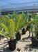 Cycad plants, Export advanced landscape feature plants.
