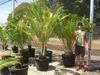 Cycad plants, Export advanced landscape feature plants.