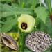 Ambrette seed (musk Seed)