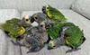 Live parrots