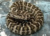 Live reptiles snakes vipers