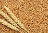 Wheat grain from Russian Federation