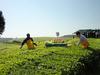 Two-man Tea Harvester