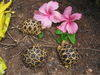 Geochelone platynota - Burmese Starred Tortoise