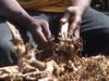 Iboga Tabernante, Ibogaine hcl, Iboga root barks