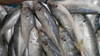 Frozen horse mackerels