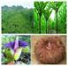 Wholesale ISO 100% Nature Konjac Powder Konjac Gum