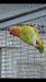 LOVEBIRDS - All Mutations!