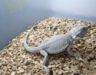 Live Bearded Dragons to sell (Zero, Dunner, Super Red) (Reptiles, Frogs