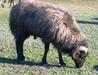 Live Sheep, Lamb, Cattle