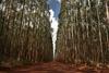 Eucalyptus an Pine trees