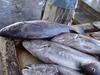 Frozen Headon Gutted Croaker From Yemen