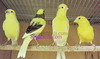 Canaries, Finches, Budgies and more!