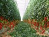 Multi span  greenhouses for commercial production
