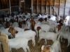 Saanen, Boer..ect Dairy Goats for Sale.