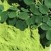 Moringa Oleifera leaves-Moringa Oleifera Roots