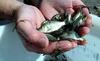 Mangur (catfish) fish seeds