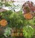 Cassia bakeriana seed