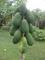 Triple A Tropical Distributors & Export Industries: Seller of: papayas, taros, bananas.