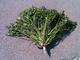 Aramgan sakalli wholesale vegetable and fruit trade: Seller of: pasley, dill, fresh parsley, fresh dill, green parsley, green dill.
