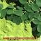 Siddha Herb Inc: Seller of: castor oil, curry powder, moringa capsules, moringa leaves powder, moringa oil, moringa seed, neem seed and oil, spices, turmeric.