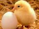 G.M. Breeders: Seller of: hatching eggs, hatching eggs, hatching eggs, all type, hatching eggs, table eggs, white table eggs, brown table eggs. Buyer of: hatching eggs, hatching eggs, table eggs, white eggs.