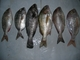 Egemar Sarl: Seller of: fish, cephalopod, crustaces, consignation, representation.